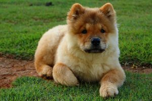 Chinesische Hunderassen Chow Chow